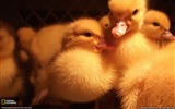 Title:Ducklings-National Geographic wallpaper Views:5300