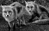 Title:Foxes New Jersey-National Geographic wallpaper Views:4788