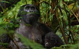Title:Mountain Gorillas Africa-National Geographic wallpaper Views:6651