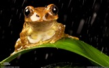 Title:Peacock Tree Frog-National Geographic wallpaper Views:5986