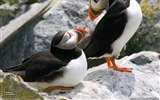 Title:Puffins Maine-National Geographic wallpaper Views:5079