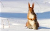 Title:Red Squirrel Poland-National Geographic wallpaper Views:5801