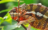 Title:Reptile Chameleon-Animal photo wallpaper Views:6674