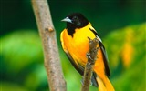 Title:baltimore oriole-Animal photo wallpaper Views:4146