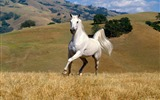 Title:beautiful white horse-Animal photography wallpaper Views:14533