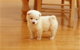 Title:cutest puppy-Animal photography wallpaper Views:32601