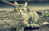 Title:gray cat-Cat photography wallpaper Views:6972