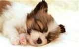 Title:papillon puppy-Animal photography wallpaper Views:7946