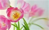 Title:Pink Tulips-Nature plant wallpaper Views:5437