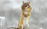 Title:Squirrel Standing-Animal wallpaper Views:8511