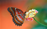Title:butterfly on flower-Animal wallpaper Views:4354