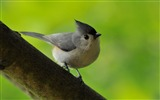Title:Paridae Tufted Titmouse-Birds animal wallpaper Views:12472