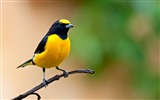 Title:Purple throated Euphonia-Birds animal wallpaper Views:7025