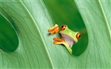 Title:Red-eye tree frog-Mac OS Wallpaper Views:23187