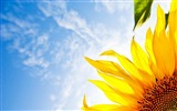 Title:Sunflower close-up Desktop Wallpaper Views:8297