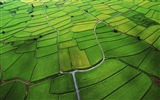 Title:The green rice fields of the low-altitude aerial-Mac OS Wallpaper Views:33732
