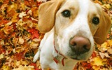 Title:Beagle-dog photo wallpaper Views:9487