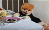 Title:Boo The Cutest Dog-dog photo wallpaper Views:22452