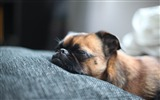 Title:Brown Pug Sleeping-dog photo wallpaper Views:9779