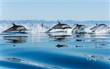 Title:California Gulf of dolphins-Bing Wallpaper Views:52436