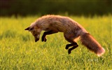 Title:Canadian Red Fox-Bing Wallpaper Views:82860