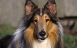 Title:Collie Dog-dog photo wallpaper Views:5351