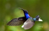 Title:Costa Rica purple the knife-winged hummingbird-Bing Wallpaper Views:32118