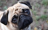 Title:Cute Pug-dog photo wallpaper Views:83444
