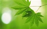 Title:Fresh green leaves theme Desktop Wallpapers Views:8928