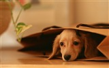 Title:Hide in Bag-dog photo wallpaper Views:9217