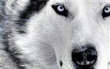 Title:Husky up-dog photo wallpaper Views:12014
