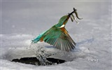 Title:Kingfisher caught fish of the moment-Bing Wallpaper Views:23614