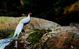 Title:Silver Pheasant-Birds animal photography wallpaper Views:6030