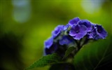 Title:Beautiful and elegant hydrangeas Desktop Wallpaper Views:15858
