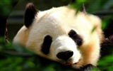 Title:Panda-Animal photography Wallpaper Views:8765