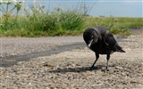 Title:crow-Animal photography Wallpaper Views:6632