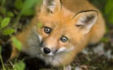 Title:fox-Animal photography Wallpaper Views:25063