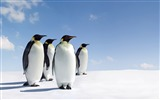 Title:penguins close up-Animal photography Wallpaper Views:7180