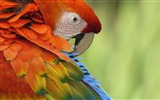 Title:red parrot close up-Animal photography Wallpaper Views:12833