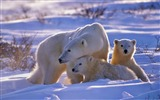 Title:white polar bears-Animal photography Wallpaper Views:6401