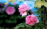 Title:Beautiful flowers-bright peony flower photography Wallpapers Views:15069