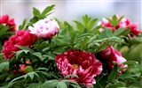 Title:Blooming-bright peony flower photography Wallpapers Views:8608