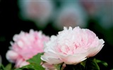 Title:Exquisite Beauty-bright peony flower photography Wallpapers 02 Views:5280