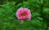 Title:Lonely beauty-bright peony flower photography Wallpapers Views:4035