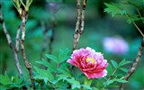 Title:Pink-bright peony flower photography Wallpapers 03 Views:5982