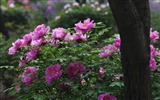 Title:Purple flowers-bright peony flower photography Wallpapers Views:4392