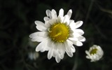 Title:White daisy-2012 flowers Featured Wallpaper Views:3706