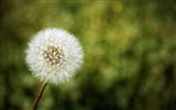 Title:White dandelion-2012 Natural plant Featured wallpaper Views:4540