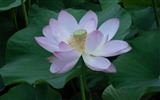 Title:beauty pink lotus-2012 flowers Featured Wallpaper Views:3605