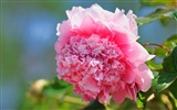 Title:bright peony flower photography Wallpapers 01 Views:3320